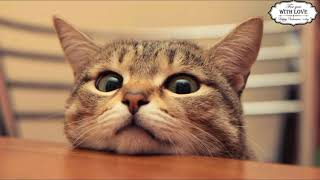 Смешные коты с ОЗВУЧКОЙ – ПОПРОБУЙ НЕ ЗАСМЕЯТЬСЯ – Самое смешное видео в мире
