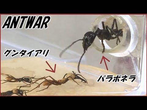蟻戦争Ⅲ#88 パラポネラは世界一硬いクロカタゾウムシをつらぬける?【テラフォーマーズ】  編~Bullet ants vs The hardest insect in the world~