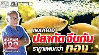 เฮียอ๋า แอบส่อง ปลากัดจีบกัน ราคาแพงกว่าทอง | SUPER100