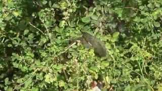 preview picture of video 'White-vented Myna eating Manila tamarind pods in Kalasin, Thailand'