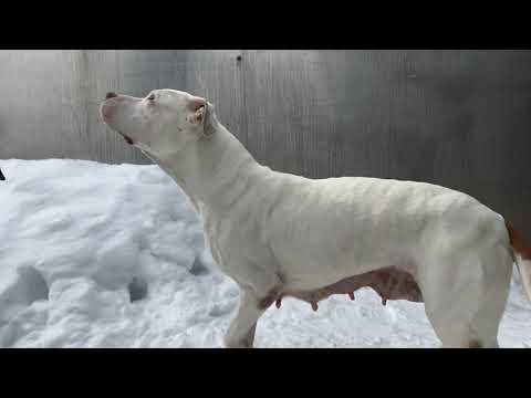 Delphine, an adopted Pit Bull Terrier Mix in Chicago, IL_image-1