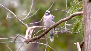 Molted Blue Jay on a windy day in Oro-Medonte