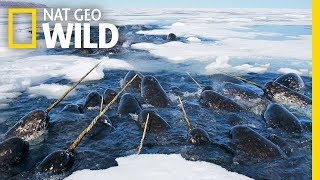 Narwhals: The Unicorns of the Sea! | Nat Geo WILD