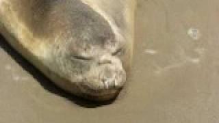 preview picture of video 'Elefante marino - Mar del Tuyu.AVI'
