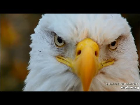 Decorah Eagles ~ Welcome Back DM2!! Positively Identified By RRP! He Is STUNNING! 10.19.19