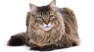 USA КОШКИ НА ПОДИУМЕ 1СЕРИЯ (выставка кошек разных пород)