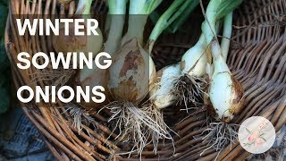 Winter Sowing Onion Seeds - Growing Onions in Zone 6b/7 - Urban Organic Garden