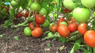Сорта низкорослых томатов видео