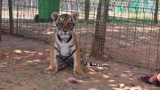 Полосатая ферма: китаец выращивает тигров для сохранения популяции