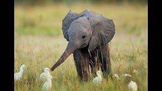 Гусь и слоненок.