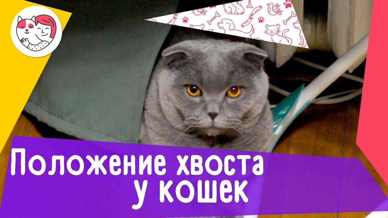 6 положений хвоста кошки, как показатели ее настроения