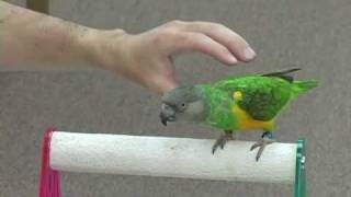 Kili Senegal Parrot - Tricks