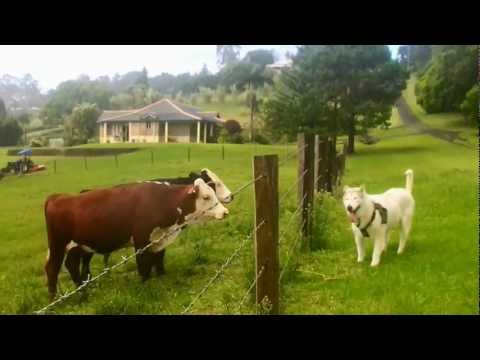 , title : 'Mal Plays with Cows, Horses, and Donkeys