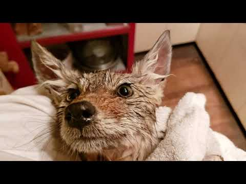 Post-Flea-Bath Coyote Pup Before Going To Rehab Facility