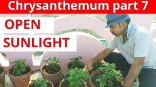 Chrysanthemum Series 2018-19, Part 7