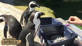 Meet the African Penguins!