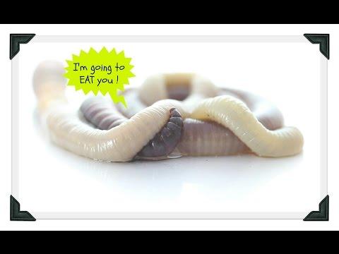 Kung paano gamutin ang mga isda para sa mga worm