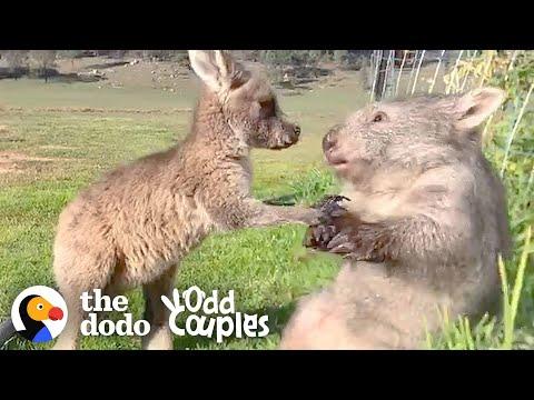 Wombat & Kangaroo: an Unlikely But Adorable Friendship!