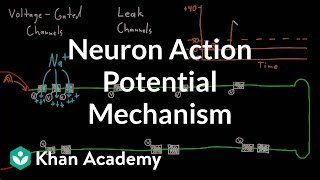 Introduction to neural cell types organ systems mcat khan neuron action potential mechanism nervous system physiology nclex rn khan academy ccuart Image collections