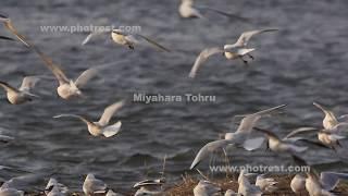 飛翔するユリカモメ