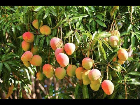 Download Grow Your Own Mangoes In Containers! - Complete Growing Guide HD Mp4 3GP Video and MP3