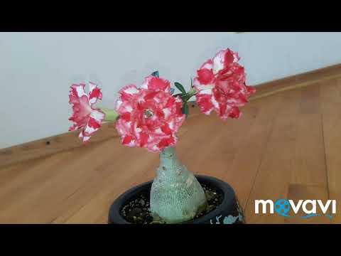 цветение адениума с Таиланда