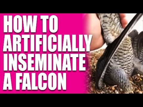 Funny: how to artificially inseminate a falcon