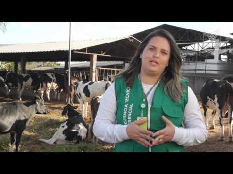 SENAR em Campo: Bovinocultura de Leite – Cuidados na ordenha de vacas leiteiras