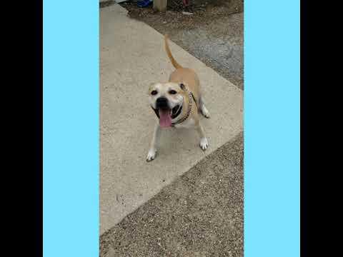 Reggie, an adoptable Labrador Retriever & Pit Bull Terrier Mix in Bloomington, IL
