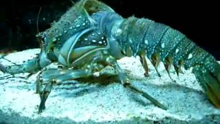 Download Youtube: lobster removing his shell amazing video