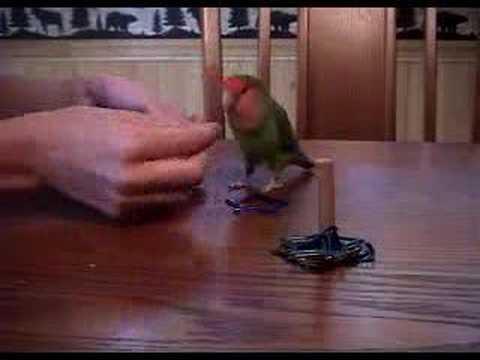 how to train a lovebird tricks