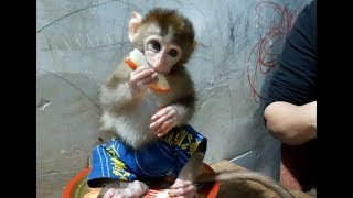 Monkey Lu Ate Plums With His Mom Very Cute