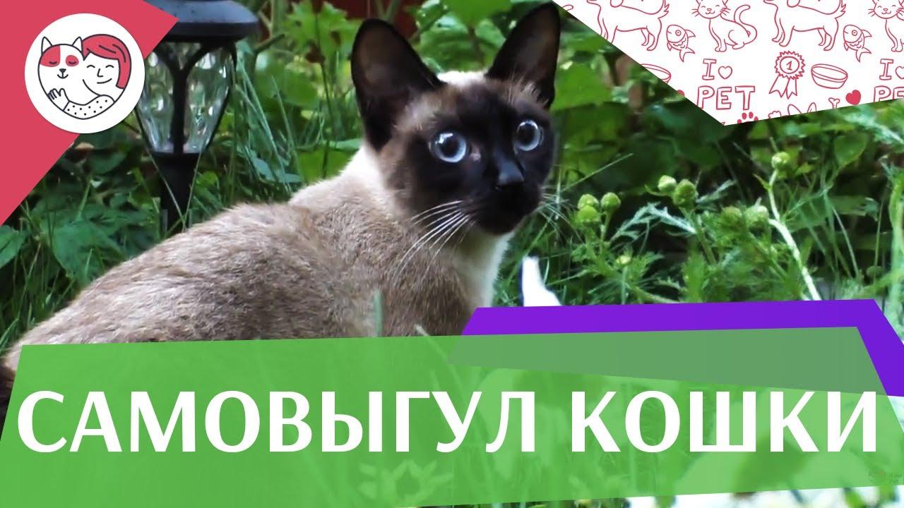 4 секрета организации правильного самовыгула кошки на ilikepet