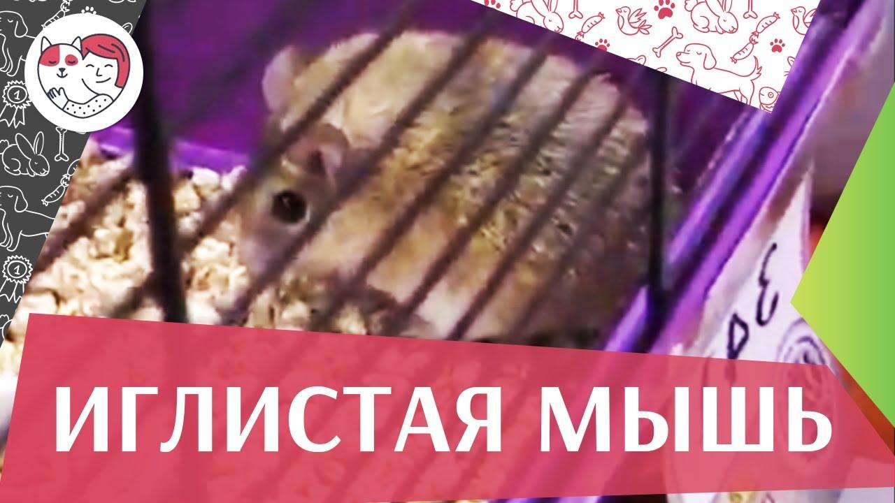 Иглистая  мышь Условия содержания на ilikepet