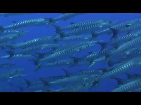Forgotten Islands - Schooling Fish