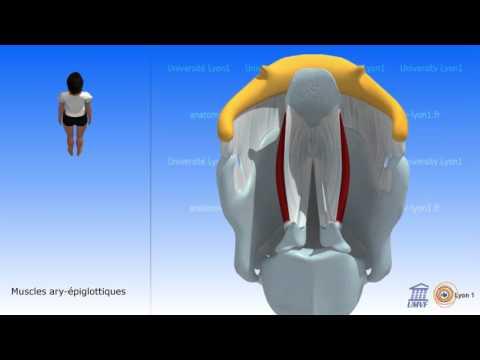 Le biceps de lépaule se fixe aux os