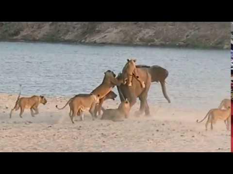 Helt utrolig: 14 løver angriper og elefanten slipper unna