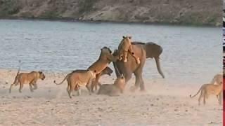 Смотреть онлайн Молодой слон был атакован прайдом львов