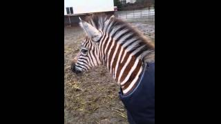 What does a zebra sound like - baby zebra calling out - animal sounds