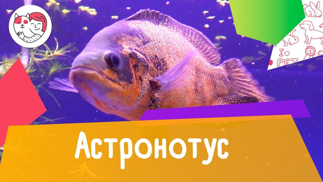 Аквариумная рыбка астронотус. Особенности. Уход.