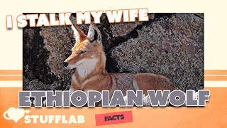 Facts About the Ethiopian Wolf | Facts | Stuff Lab