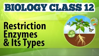 Restriction Enzymes And Its Types - Biotechnology Process And Application - Biology Class 12