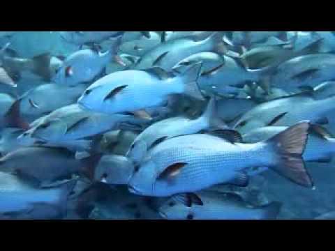 Schnapperschwarm am Shark reef, Shark Reef,Ägypten