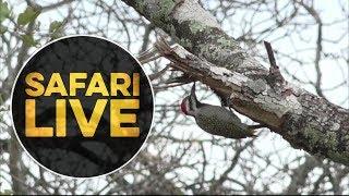 safariLIVE - Sunrise Safari - May 15, 2018