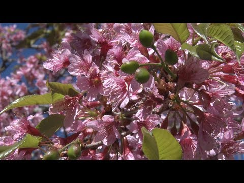 Festa da Cerejeira atrai turistas de diversos lugares, em Nova Friburgo