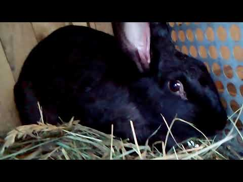Как лечить миксоматоз у кроликов 100% результат