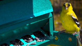 WATCH: The brightly colored goldfinch is not a wild canary