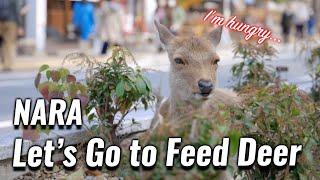 Let's Go to Feed Deer in Nara !
