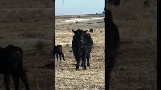 Cow calf pair