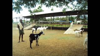 Ammco bus : Tellicherry goat for sale in coimbatore